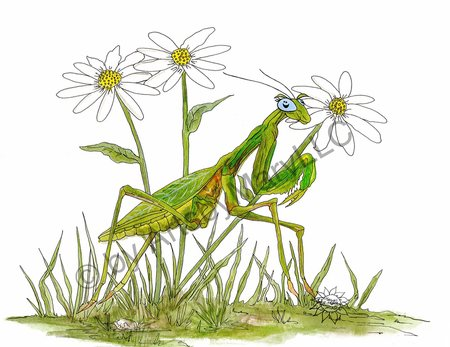 Praying Mantis Daisy